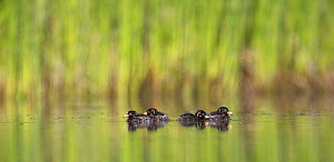 Little Grebe (Tachybaptus ruficollis) four chicks age 6 days, The Netherlands, June.  -  David  Pattyn