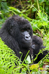 Mountain Gorilla (Gorilla gorilla beringei) mother holding baby twins age five months, Parc National des Volcans, Rwanda. Endangered species  -  Suzi Eszterhas