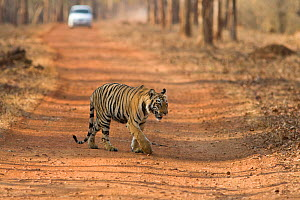 Bengal Tiger (Panthera tigris tigris) juvenile age 2 years old crossing the road. Tadoba Andheri Tiger Reserve, India. Endangered species - Suzi Eszterhas