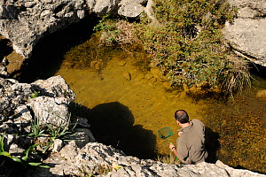 Dr. Jaime Bosch looking in pond in search of the Majorcan midwife toad (Alytes muletensis) endemic species to Majorca, Torrent de s'Esmorcador, Majorca, Spain, April 2009.  -  Solvin Zankl