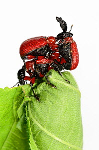 Hazel Leaf-roller Weevil (Apoderus coryli) two males competing to mate with female on her rolled leaf, Westensee, Germany, May. Captive.  -  Solvin Zankl