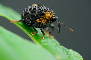 Weevil (Cionus tuberculosus) on leaf, Burgwald, Germany, June.  -  Solvin Zankl