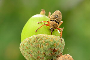 Female Acorn weevil (Curculio glandium) boring into acorn prior to egg laying, Niedersachsische Elbtalaue Biosphere Reserve, Lower Saxonian Elbe Valley, Germany, August.  -  Solvin Zankl
