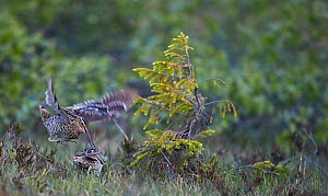 Two Great snipe (Gallinago media) one showing aggressive behaviour, Norway, June.  -  Markus Varesvuo