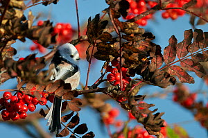 Long-tailed tit (Aegithalos caudatus) perched on twig, Uto, Finland, October. - Markus Varesvuo
