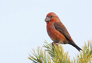 Male Parrot crossbill (Loxia pytyopsittacus) perched, Uto, Finland, November. - Markus Varesvuo
