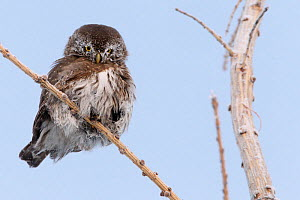 Pygmy owl (glaucidium passerinum) perched on twig, Kuusamo, Finland, January.  -  Markus Varesvuo