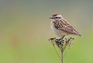 Female Whinchat (Saxicola rubetra) perched on seed head, Uto, Finland, May.  -  Markus Varesvuo