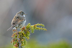 Whitethoat (Sylvia communis) perched on twig, Uto, Finland, May.  -  Markus Varesvuo