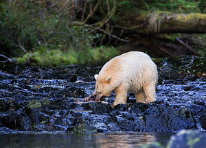 Kermode Bear (Ursus americanus kermodei) with pink salmon in its claws and mouth, Great Bear Rainforest, British Columbia, Canada. - Diane  McAllister