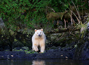 Kermode Bear (Ursus americanus kermodei) looking at camera, Great Bear Rainforest, British Columbia, Canada.  -  Diane  McAllister