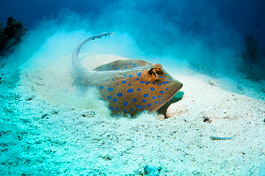Bluespotted ribbontail ray (Taeniura lymma) foraging in sandy sea bottom to find molluscs or worms.  Egypt, Red Sea. - Georgette Douwma