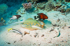 Bluespotted ribbontail ray (Taeniura lymna) digging in the sandy bottom for molluscs or worms, with a Red banded wrasse (Cheilinus fasciatus), a Dash-and-dot goatfish (Parupeneus barberinus), a Lyreta... - Georgette Douwma