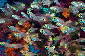 Pygmy sweepers (Parapriacanthus ransonneti)  Egypt, Red Sea. - Georgette Douwma