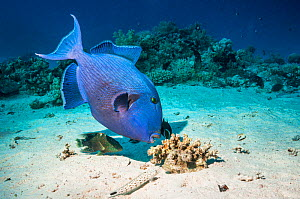 Blue triggerfish (Pseudobalistes fuscus) grubbing for food with Abudjubbe splendor wrasse (Cheilinus abudjubbe), (a Red Sea endemic), and a Speckled sandperch (Parapercis hexophtalma) keeping a close...  -  Georgette Douwma