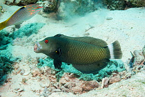 Rockmover wrasse (Novaculichthys taeniorus) carrying a piece of rubble. Egypt, Red Sea.  -  Georgette Douwma