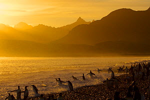 King Penguins (Aptenodytes patagonicus) on beach at sunrise, South Georgia Island, March.  -  Russell  Laman