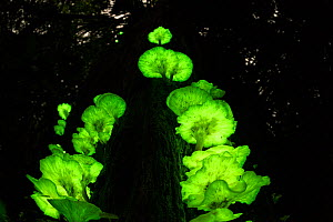 Bioluminescent fungi (Omphalotus nidiformis / Pleurotus nidiformis) glowing on tree trunk in rainforest at night, Atherton Tablelands, Queensland, Australia, - Jurgen Freund