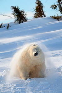 Polar bear (Ursus maritimus) female coming out the den and shaking off snow. Wapusk National Park, Churchill, Manitoba, Canada, March. - Eric Baccega