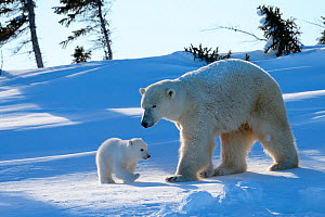 Polar bear (Ursus maritimus) female with her 3 months cub, soon after emerging from their den in March. Wapusk National Park, Churchill, Manitoba, Canada. - Eric Baccega