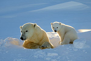 Polar bear (Ursus maritimus) female coming out the den with one three month cub. Wapusk National Park, Churchill, Manitoba, Canada, March.  -  Eric Baccega