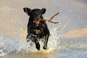 Black flat-coated retriever dog splashing in water and retrieving stick (Canis familiaris) - Eric Baccega