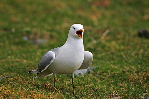 Common gull (Larus canus) adult calling on grassland beside Loch na Keal, Isle of Mull Argyll and Bute, Scotland, UK, May.  -  Mike Read