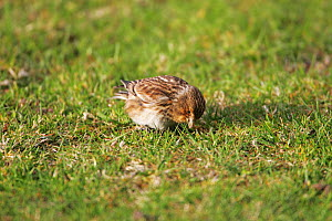 Twite (Carduelis flavirostris) adult feeding on grassland close to Loch na Keal, Isle of Mull Argyll and Bute, Scotland, UK, May.  -  Mike Read