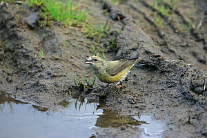 Common crossbill (Loxia curvirostra) female drinking from muddy puddle. Glen Feshie Highland Region, Scotland, UK, May. - Mike Read