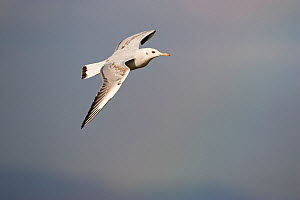 Slender-billed gull (Larus genei) juvenile in flight over Stagno di Cagliari, Sardinia, Italy, September.  -  Mike Read