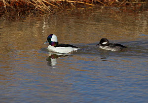 Bufflehead (Bucephala albeola) male and female in a drainage canal, Bosque del Apache, New Mexico, December.  -  Charlie  Summers