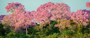 Puiva Trees (Tabebuia impetiginosa) in full bloom. Near the banks of the Paraguay River, Taiama Reserve, Mato Grosso, Western Pantanal, Brazil. - Nick Garbutt