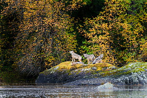 Timber Wolves (Canis lupus) resting on a rock by the shoreline. Near Mussel Inlet, Great Bear Rainforest, British Columbia, Canada, October.  -  Nick Garbutt