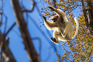Golden-crowned Sifaka (Propithecus tattersalli) leaping through forest canopy. Forests adjacent to the village of Andranotsimaty, near Daraina, northern Madagascar. Critically endangered species.  -  Nick Garbutt