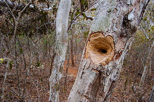 Hole chewed in tree trunk by a feeding Aye-aye (Daubentonia madagascariensis) excavating for beetle grubs. In the forests near Andranotsimaty, Daraina, northern Madagascar. Endangered species.  -  Nick Garbutt