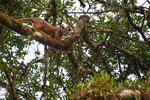 Male Fosa (Cryptoprocta ferox) climbing favoured 'mating tree' where female is waiting in canopy. Mid-altitude rainforest, Andasibe-Mantadia National Park, eastern Madagascar. Endangered.  -  Nick Garbutt