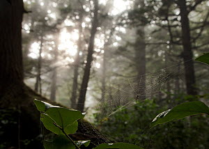 Misty forests along the coastline of Olympic National Park, Washington, USA. October 2013 - Floris  van Breugel