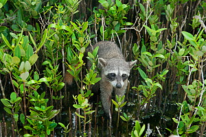 Pygmy Raccoon (Procyon pygmaeus) Cozumel Island, Mexico. Critcally endangered species with less than 500 in existence. - Kevin  Schafer