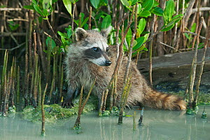 Pygmy Raccoon (Procyon pygmaeus) in mangrove swamp, Cozumel Island, Mexico. Critcally endangered species with less than 500 in existence. - Kevin  Schafer