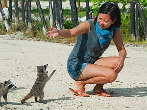 Pygmy Raccoon (Procyon pygmaeus) looking for food from tourist, Cozumel Island, Mexico. Critcally endangered species with less than 500 in existence. - Kevin  Schafer