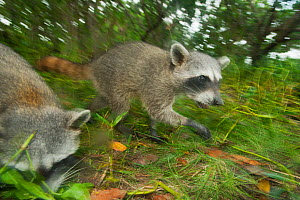 Pygmy Raccoons (Procyon pygmaeus) Cozumel Island, Mexico. Critcally endangered species with less than 500 in existence. - Kevin  Schafer