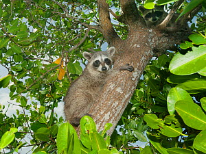 Pygmy Raccoon (Procyon pygmaeus) climbing tree, Cozumel Island, Mexico. Critcally endangered species with less than 500 in existence. - Kevin  Schafer