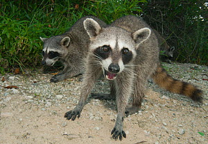 Pygmy Raccoons (Procyon pygmaeus) portrait, Cozumel Island, Mexico. Critcally endangered species with less than 500 in existence. - Kevin  Schafer