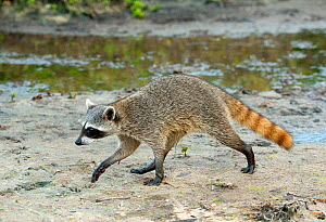Pygmy Raccoon (Procyon pygmaeus) walking along coast, Cozumel Island, Mexico. Critcally endangered species with less than 500 in existence. - Kevin  Schafer