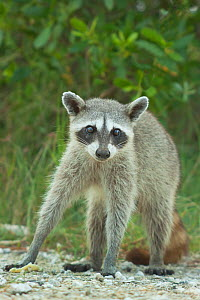 Pygmy Raccoon (Procyon pygmaeus) portrait, Cozumel Island, Mexico. Critcally endangered species with less than 500 in existence. - Kevin  Schafer