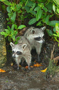Pygmy Raccoons (Procyon pygmaeus) amongst mangroves, Cozumel Island, Mexico. Critcally endangered species with less than 500 in existence. - Kevin  Schafer