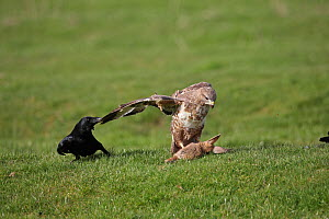 Carrion crows (Corvus corone) harassing Buzzard (Buteo buteo) with prey, Warwickshire, England, UK, March  -  Mike Wilkes
