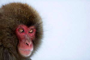 Japanese Macaque (Macaca fuscata) sub-adult portrait. Jigokudani Yaen-Koen National Park, Japan, February. - Fiona Rogers