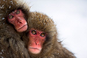 Japanese Macaque (Macaca fuscata) juveniles huddling together for warmth. Jigokudani Yean-Koen National Park, Japan, February. - Fiona Rogers
