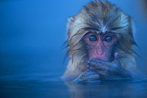 Japanese Macaque (Macaca fuscata) baby submerged in a thermal hotspring pool. Jigokudani Yean-Koen National Park, Japan, February. - Fiona Rogers